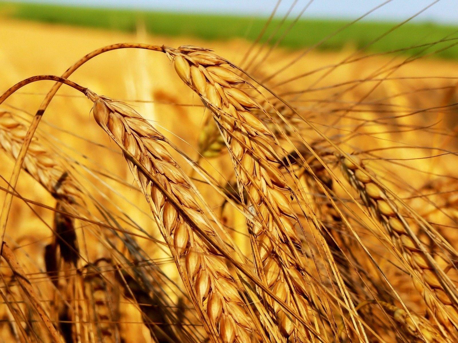 field_ears_agriculture_crop_grain_42484_1600x1200.jpg